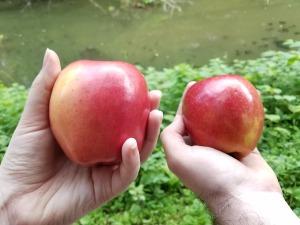 midsummer apples